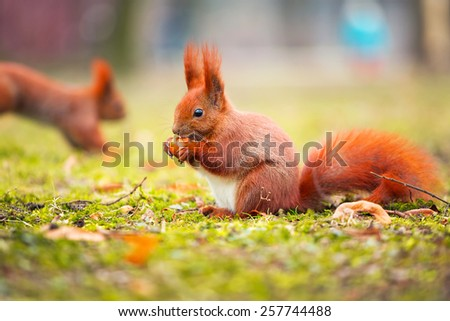 Red squirrel with nut in the park - stock photo