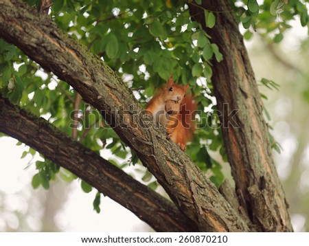 red squirrel with walnut on tree - stock photo