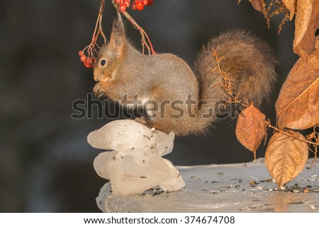 red squirrels on ice with leaves and berries above - stock photo