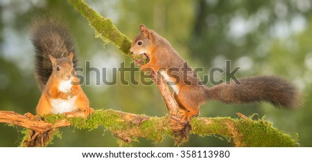 red squirrels standing on tree branch with moss