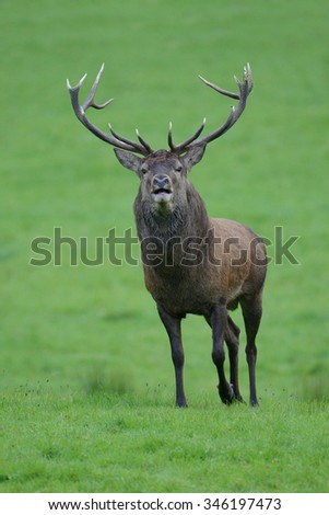 Red stag in Killarney National Park