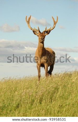 red stag with large antlers - stock photo