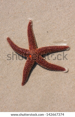 Red Starfish laying in the sand at the beach