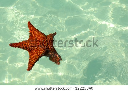 Red starfish the blue caribbean sea.