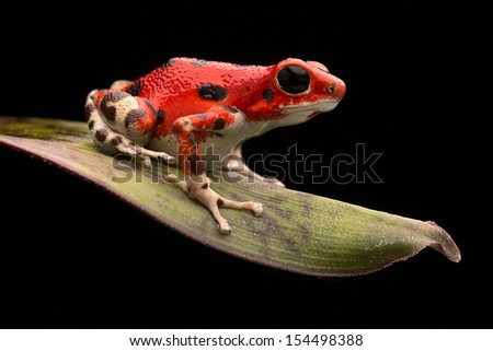 Red strawberry poison dart frog, Oophaga pumilio from the Bocas del Toro Archipelago in Panama. Morph living in the rain forest at the red frog beach. Beautiful macro of a rainforest animal.