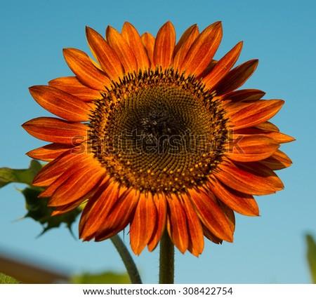 Red sunflower - stock photo