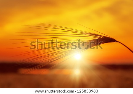 red sunset and golden harvest - stock photo