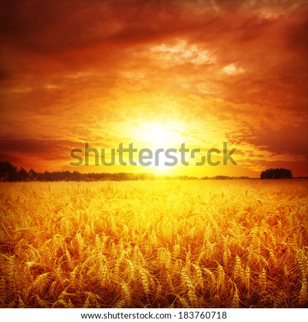 Red sunset over wheat field.  - stock photo