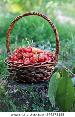 red sweet cherries in a large wicker basket - stock photo