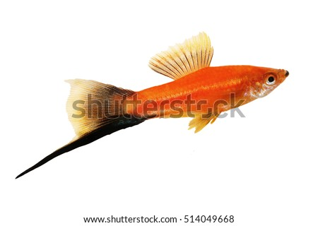 Swordtail Stock Images, Royalty-Free Images & Vectors ...