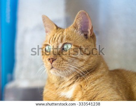 Red tabby cat close up. Ginger domestic kitten - stock photo