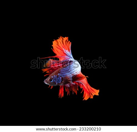 red tail and fin thai siamese betta fighting fish show beautiful of full body isolated on black background - stock photo