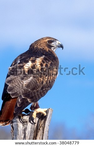 Red Tail Hawk perching - stock photo