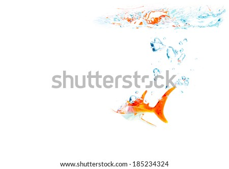 red tail shark in the crystal clear water