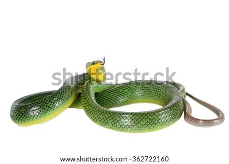 Red-tailed Green Ratsnake, Gonyosoma oxycephalum, on white  - stock photo