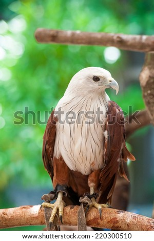 Red-tailed hawk  - stock photo