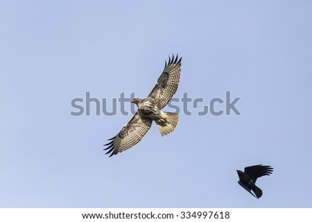 Red-tailed Hawk being harassed by an Northwestern crow.