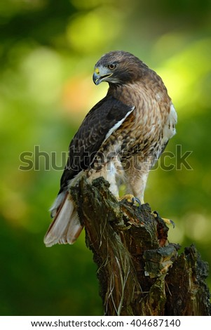 Red-tailed Hawk, Buteo jamaicensis, bird of prey portrait with open bill with blurred habitat in background, green forest, USA - stock photo