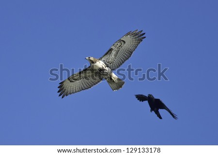 Red-tailed Hawk flying across the sky being harassed by an American Crow. - stock photo