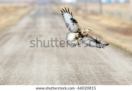 Red Tailed Hawk flying over prairie dirt road with a mouse