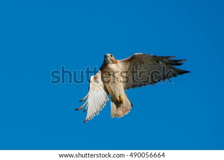 Red-tailed Hawk flying overhead in a clear blue sky.