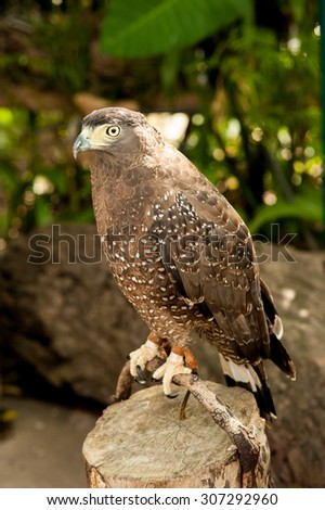 Red-Tailed Hawk has an intense stare as it looks to the left of the image in a zoo - stock photo