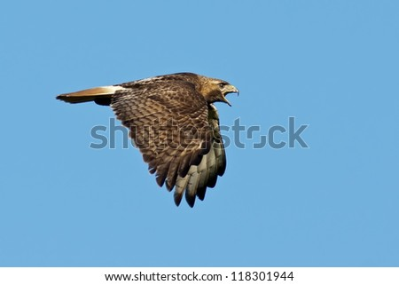Red-tailed Hawk in Flight against a blue sky background. - stock photo