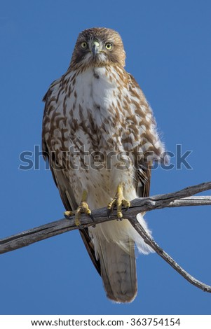Red Tailed hawk in the branches of a cottonwood tree at Cherry Creek State Park in suburban Denver, Colorado.  - stock photo