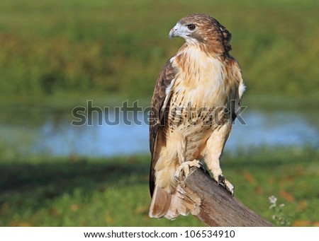 Red Tailed Hawk on a Tree - stock photo
