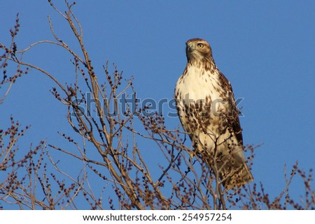 Red tailed hawk on top of tree.
