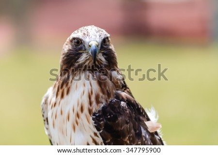 red-tailed hawk or (Buteo jamaicensis) in front view, in Coaldale, Alberta  - bokeh background - stock photo
