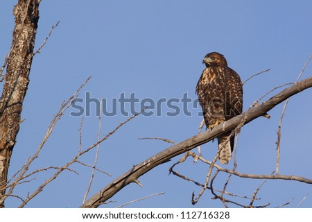 Red-tailed Hawk, perched in the branches of a deciduous tree with a clear blue sky background - stock photo