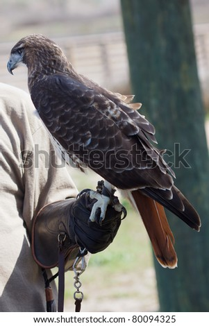 Red-tailed Hawk perched on a Falconer's Glove