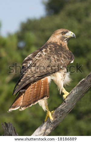 red tailed hawk perched on branch - stock photo