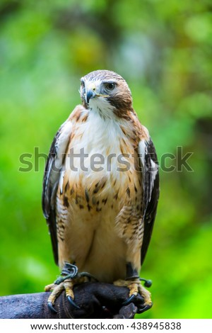 Red tailed hawk perched on the hand of a human trainer - stock photo