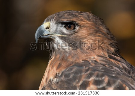 Red Tailed Hawk Portrait/Red Tailed Hawk Profile/ Red Tailed Hawk looking left - stock photo