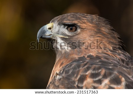 Red Tailed Hawk Portrait/Red Tailed Hawk Up Close/ Red Tailed Hawk Profile 1