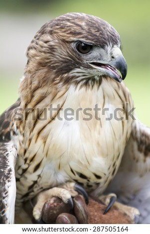 Red-tailed Hawk portrait. The most common hawk in North America. You'll most likely see Red-tailed Hawks soaring in wide circles high over a field.  - stock photo