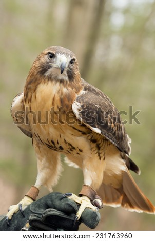 Red Tailed hawk sits on his handler's glove. - stock photo