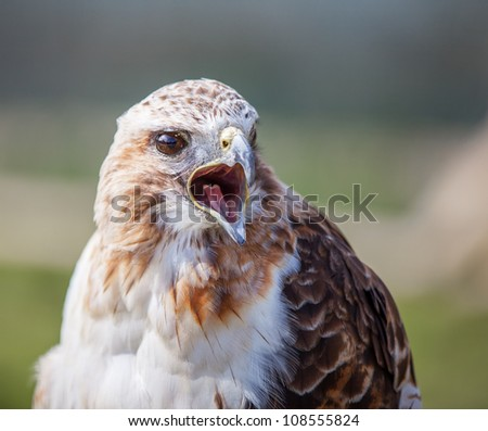 Red tailed hawk with beak open squawking - stock photo