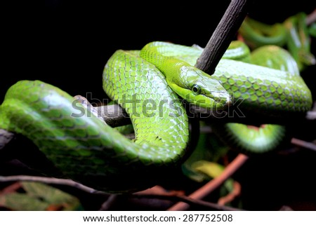 Red Tailed Racer on branch - stock photo