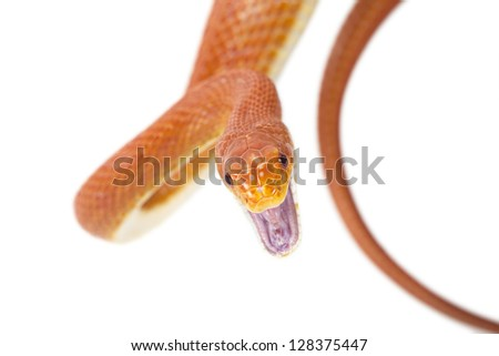 Red Texas rat snake attacking. Isolated on white background