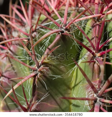 red thorn cactus closeup - round cactus with red thorns, - stock photo