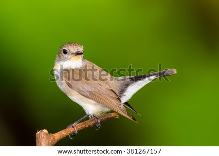 Red Throated Flycatcher (Ficedula albicilla) Bird in the garden