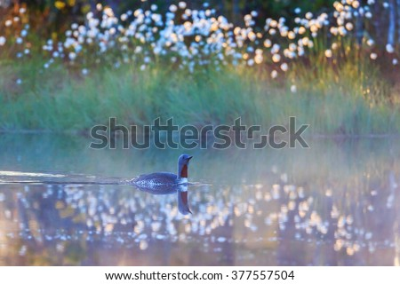 Red throated loon in summer morning mist at a forest lake - stock photo