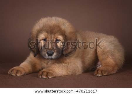 red tibetan mastiff puppy