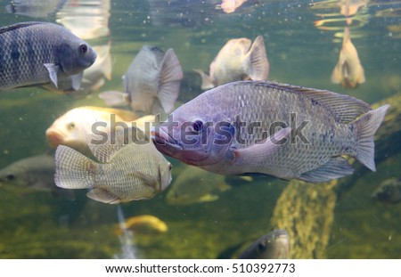 Red Tilapia fish swimming in a pond