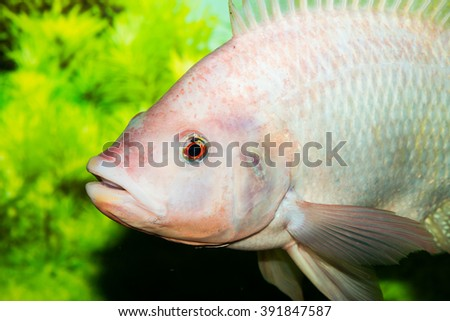 Red tilapia fish, Thailand