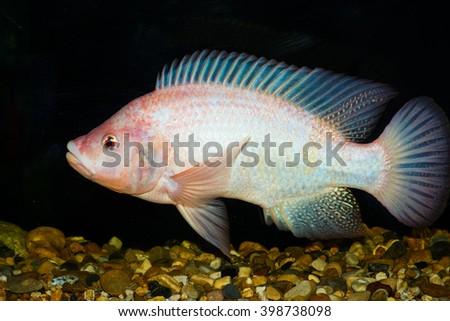Red tilapia fish, Thailand - stock photo