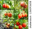 red tomatoes grow on twigs. Ripening organic tomatoes on a vegetable bed into the garden. Bio product. - stock photo